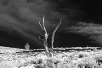 Ancient Bristlecone Pine in Snow II